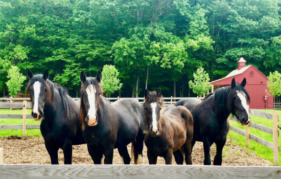 Four brown horses